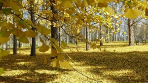 Gingko grove at the arboretum in VA - Susan Speer